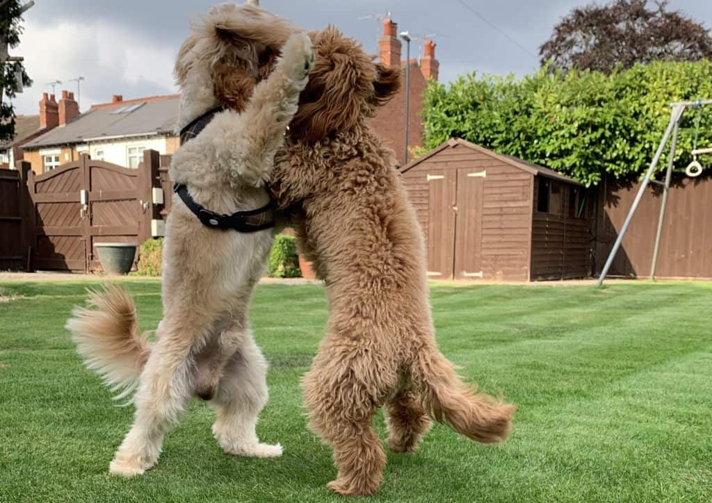 Cavapoos play fighting