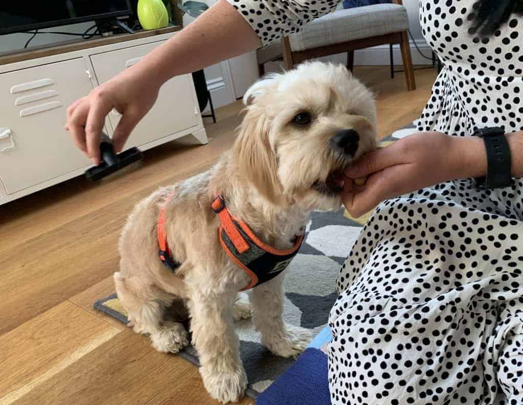 Cavapoo being brushed