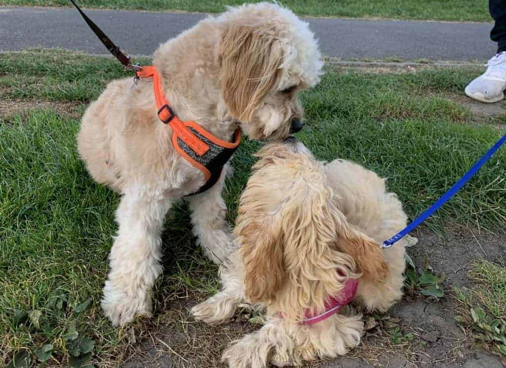 Cavapoo with another dog