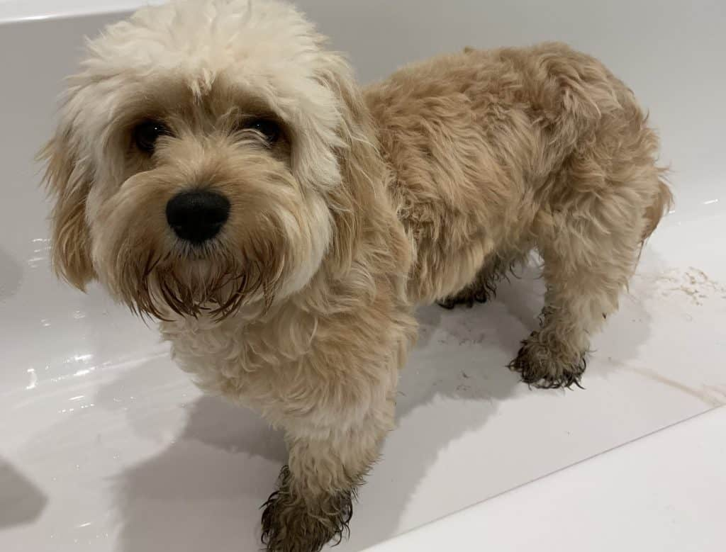 Muddy cavapoo in bath