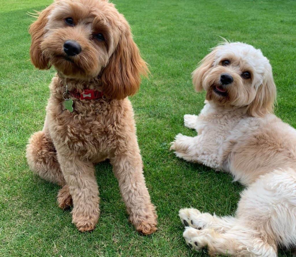 2 cavapoo dogs