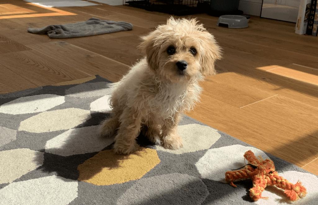 Cavapoo puppy sitting