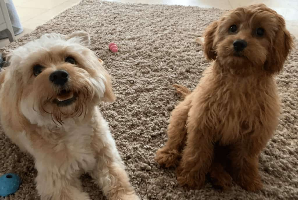 From left to right, adult and puppy cavapoo